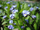 Forget-me not — Stock Photo