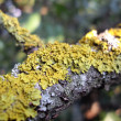 Stock Photo: Yellow lichen on branch