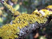 Yellow lichen on a branch — Stock Photo