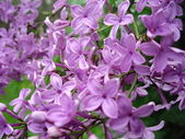 Сиреневый цветок — Стоковое фото