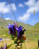Bellflower i bergen — Stockfoto