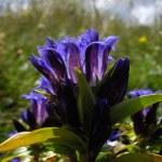 Blue bell flower — Stock Photo