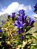 Blue harebell — Stock Photo