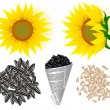 Stock Vector: Sunflowers and seed
