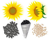 Sunflowers and seed — Stock Vector