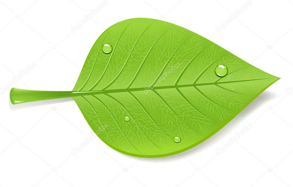 Green leaf, vector illustration  Stock Vector #1708325