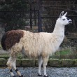 Stock Photo: Lama