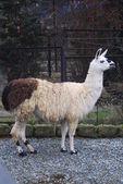Lama — Stock Photo