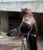 South sea lion in the circus — Stock Photo