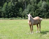 Ljus kastanj häst — Stockfoto