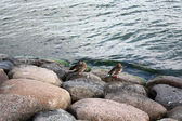 Ducks near the sea — Stock Photo