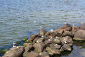 Ducks and gulls near the sea — Stock Photo