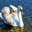 Stock Photo: Young swan