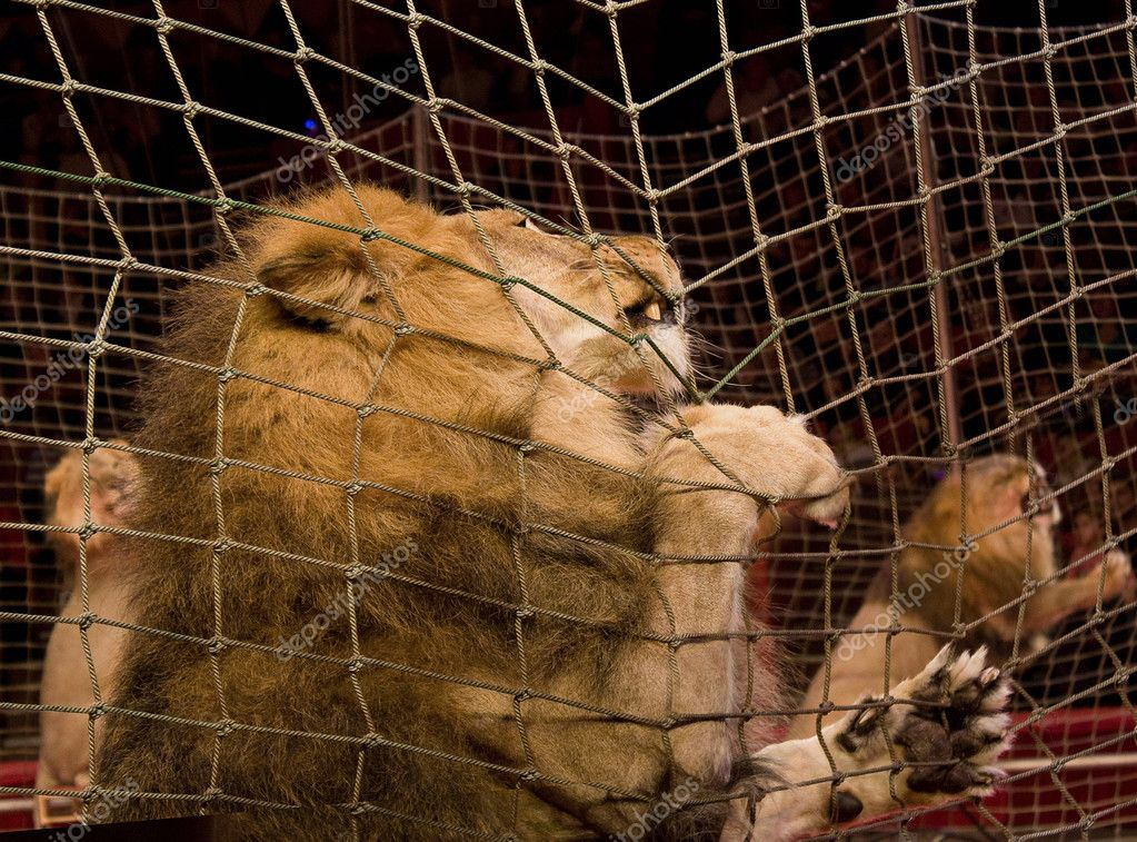 Lion in a cage in the circus — Stock Photo #1622352