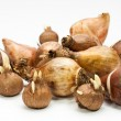 Stock Photo: Flower bulbs