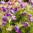 pasque flower — Stock Photo