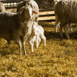 Sheeps and lambs — Stock Photo