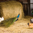 Chicken and peacock — Stock Photo