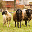 Schafe, sheeps — Stock Photo