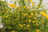 Kerria or japanese rose — Stock Photo