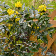 Mahonia — Stock Photo