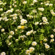 Meadow with daisies — Stock Photo