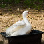 Bathing duck — Stock Photo