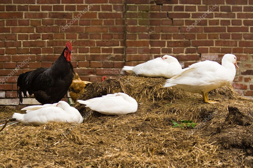 Ducks and rooster  Stock Photo #1895579