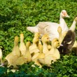 Muscovy duck with ducklings - Stock Photo