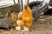 Silkie rooster — Stock Photo