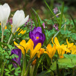Crocus in a garden - Stock Photo