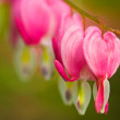 Royalty-Free Stock Photo: Bleeding heart