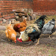 Chickens on a farm - Stock Photo