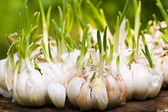 Sprouting garlic — Stock Photo