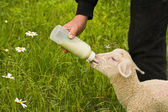 Lamb feeding — Stock Photo