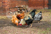 Chickens on a farm — Stock Photo