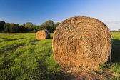 Beli siana — Zdjęcie stockowe