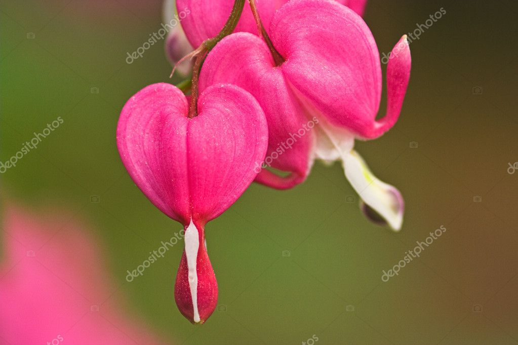 Bleeding heart — Stock Photo #2521390