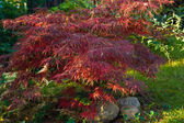 Japanese maple — Stock Photo