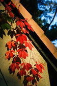Virginia creeper in autumn — Stock Photo