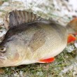 Colorful perch — Stock Photo