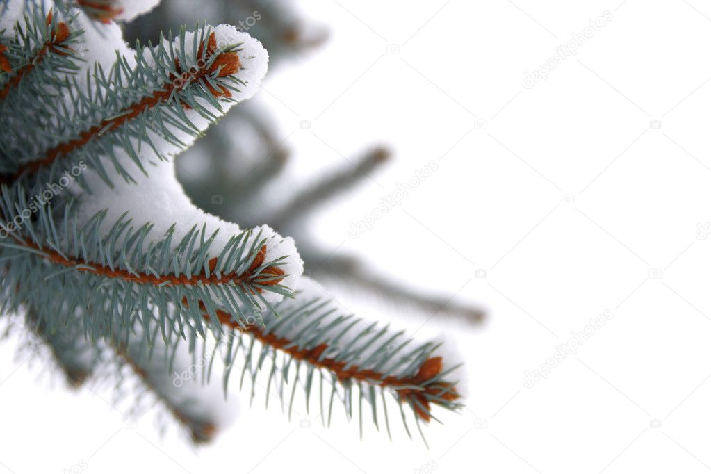 Christmas spruce tree with fresh snow on white background — Stock Photo #1653945