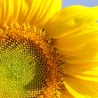 Sunflower — Stock Photo #1731789