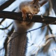Squirrel — Stock Photo #1609446