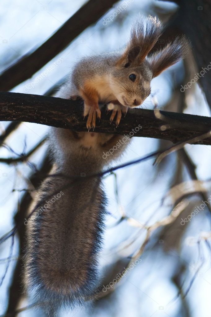 The squirrel on a tree branch looks in a camera lens — Stock Photo #1609446