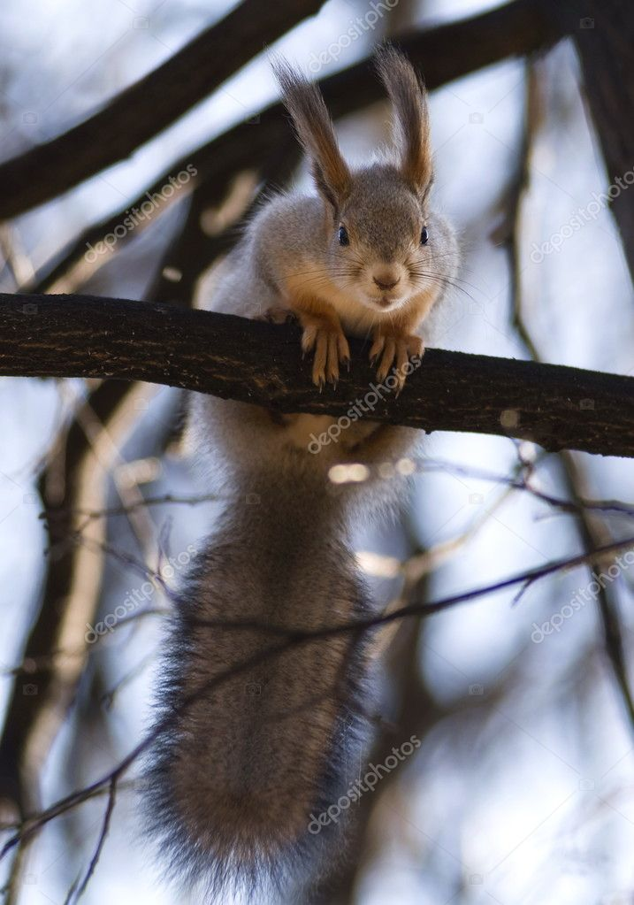 The squirrel on a tree branch looks in a camera lens  Stock Photo #1942849