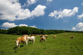 Cows on green meadow — Foto Stock