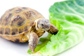 Turtle on a white background — Stock Photo