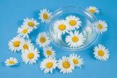 Sparse white chamomiles — Stock Photo
