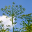 Dill grows — Stock Photo